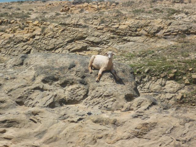 Goat near Paradise Beach