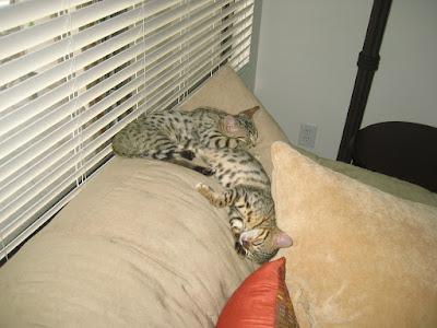 Bengal Kittens Sleep Falling