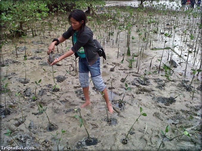 mangrove tree planting demo