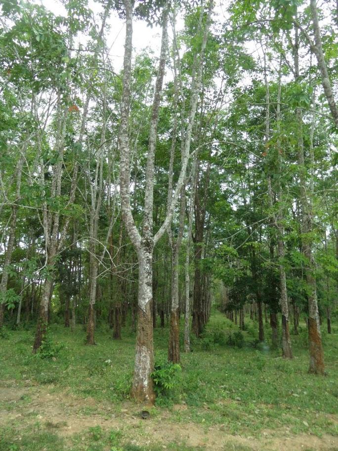 Kauçuk ağaçları