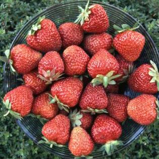 Korona Strawberry (Корона клубника)