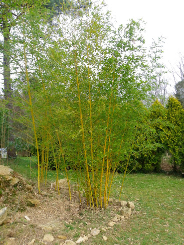 Le bambou d 39 un ami forum des fous de bambous - Tuteur bambou gros diametre ...