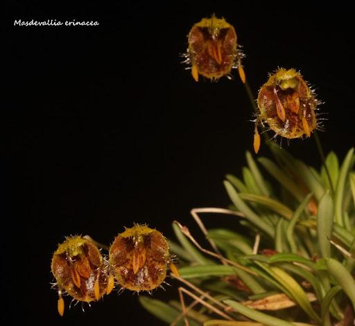Diodonopsis erinacea ( ex. Masdevallia erinacea ) IMG_0690b%2520%2528Medium%2529
