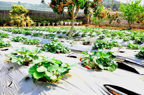 dau tay moc chau+%25282%2529 Dâu tây Mộc Châu sản vật mới của xứ sở những trái ngon