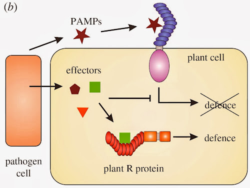 Modo de acción de los efectores y genes de resistencia.