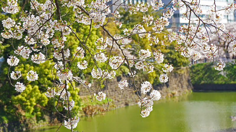 千鳥ヶ淵 桜 写真6