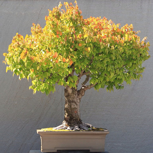 Beautifully-leafed Bonsai