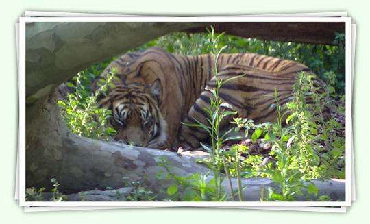 Tigre fent becaina