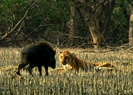 Flawed And Fatal Tiger Conservation