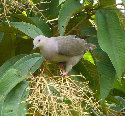 Grey-fronted Dove (Leptotila...