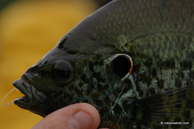 Reston red ear sunfish
