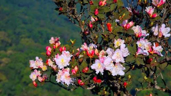 Kết quả hình ảnh cho hoa đổ quyên trên fansipan