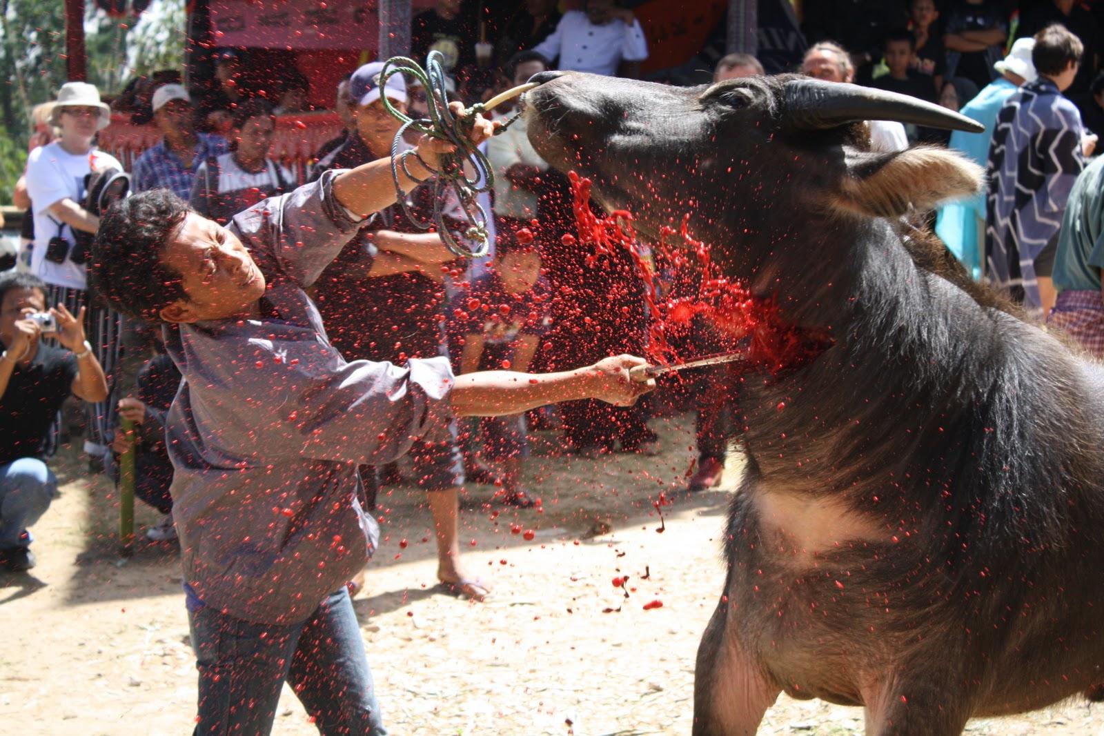 Toraja,ceremony of death. – indonesian traditional food recipe