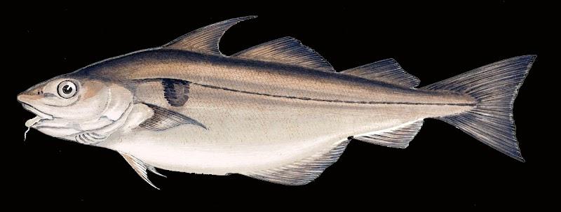 schelvis, melanogrammus aeglefinus, paul gervais