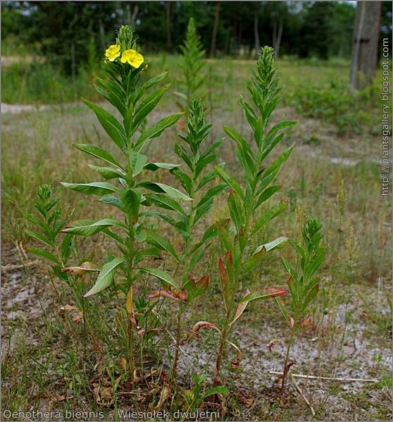 Oenothera biennis - Wiesiołek dwuletni pokrój