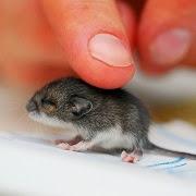 К чему снится серая мышь?