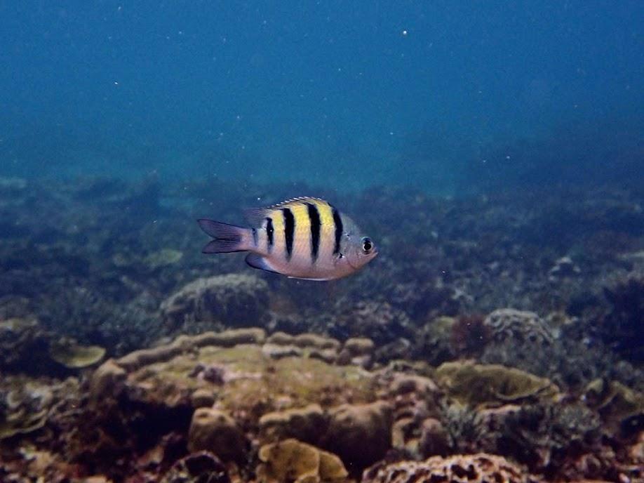 Adudefduf vaigiensis (Sergent Major Damselfish), Small Lagoon, Miniloc Island, Palawan, Philippines.