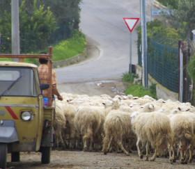 Schafzucht in Bagheria, Sizilien