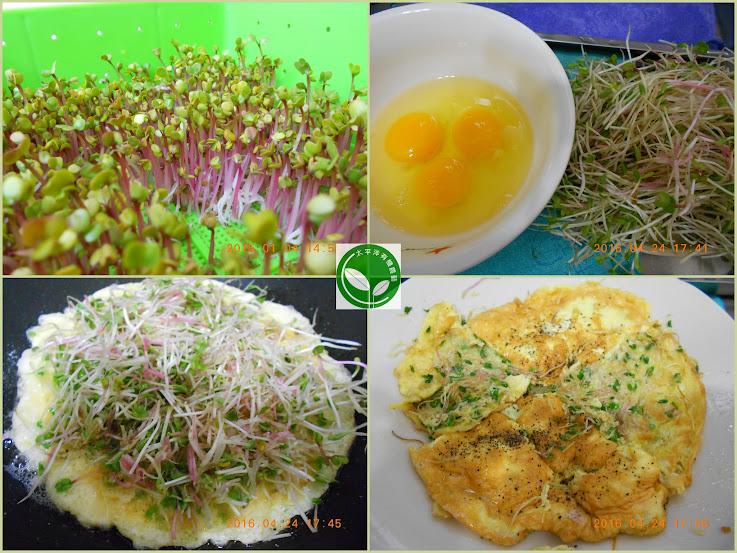 有機紫莖蘿蔔蘡芽菜苗
