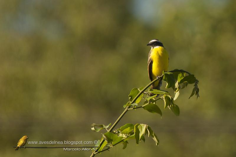 Benteveo mediano, Vermilion-crowned Flycatcher, Myiozetetes similis