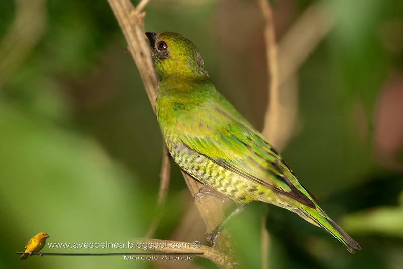Tersina (Swallow tanager)
