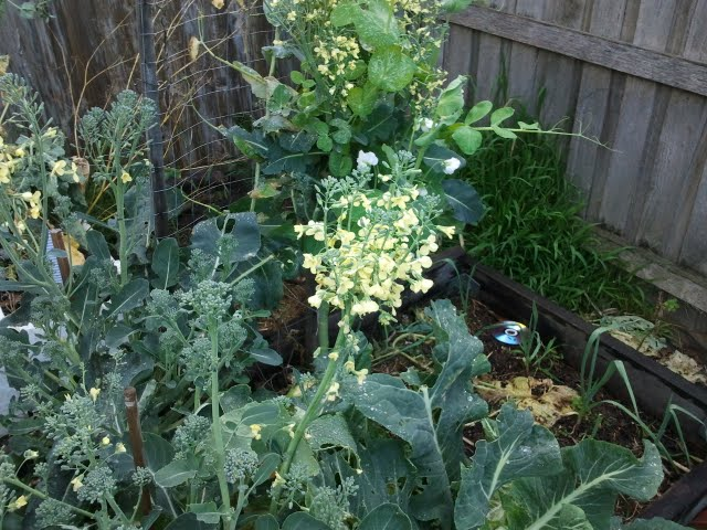 broccoli flowering in the garden