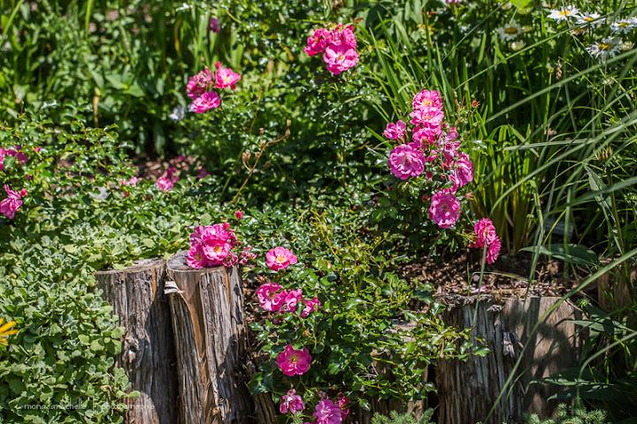 Rosa Sweet Vigorosa Rosa-sweet-vigorosa-130717-78rm