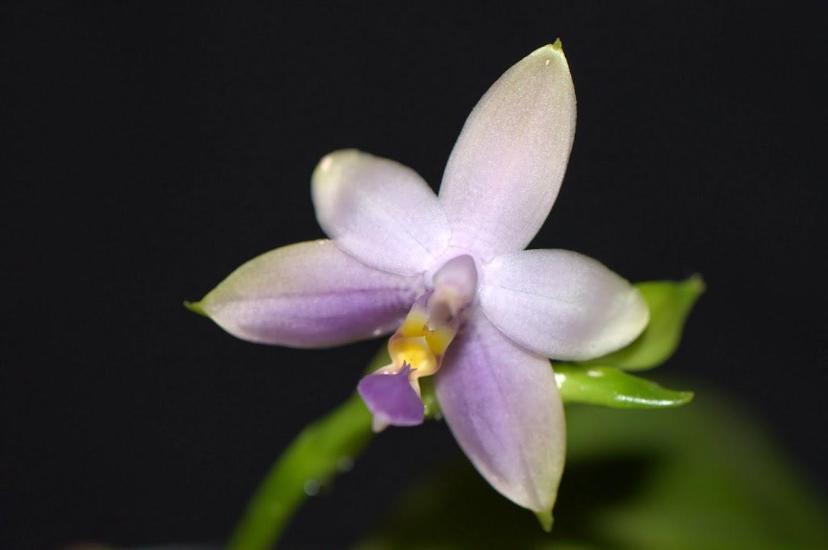 Phalaenopsis violacea 'Malaysian Blue' DSC_0056