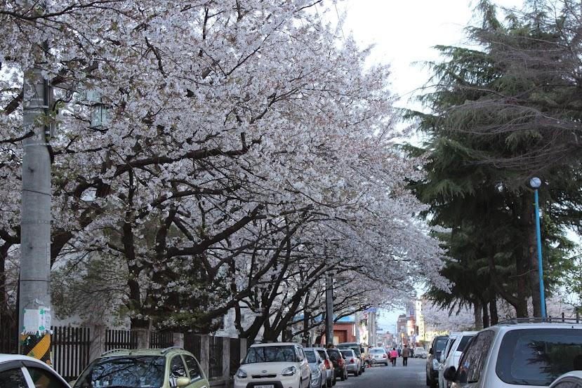Gyeongju Cherry Blossoms in Seonggeondong 2