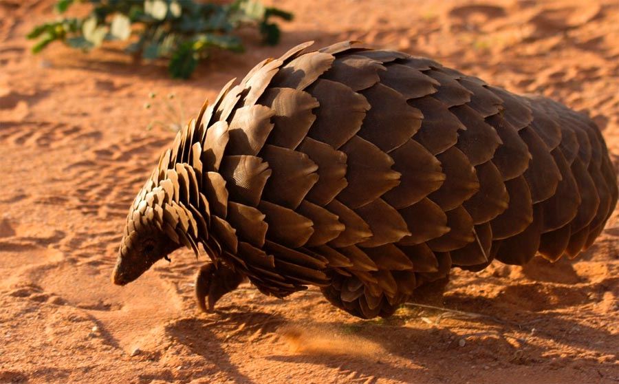 dark roasted blend magnificent pangolin scaled precise animal