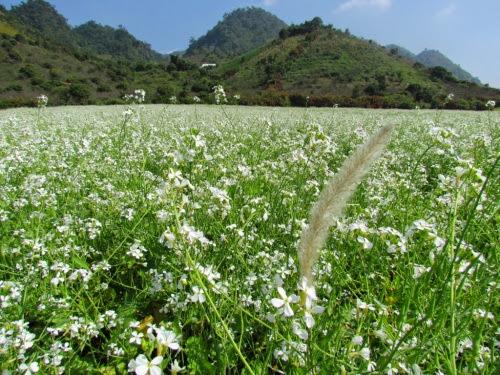 302 Mộc Châu đẹp tinh khôi mùa cải trắng