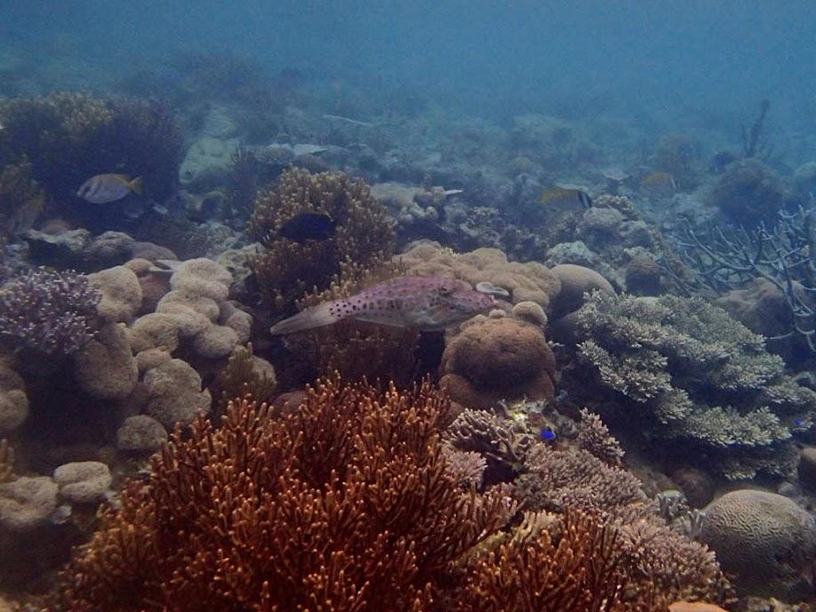 Aluterus scriptus (Scrawled Filefish), Lusong Island, Coral Garden Reef, Palawan, Philippines.