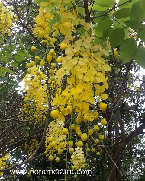 Cassia fistula, Golden Shower Tree, Indian Larbunum flowers