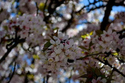 Cherry blossoms up close