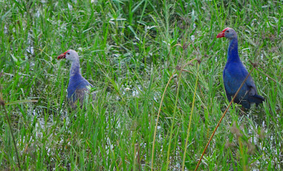 27-Aug-2011 Purple Swamphens Pic: Sujesh S.
