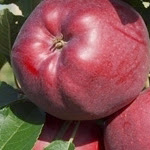 Red Cap яблоня