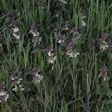 Taubnesseln in voller Blüte