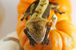 Dark pinstripe female crested gecko from moonvalleyreptiles.com