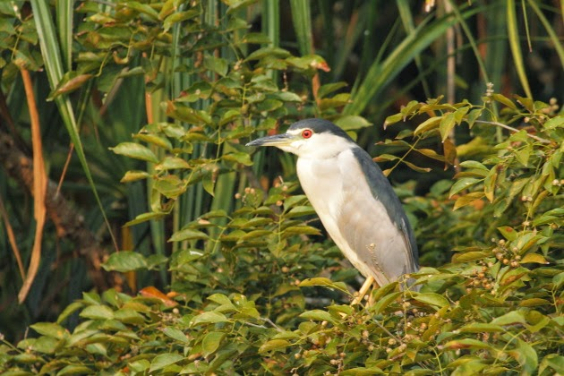 Black Crowned Night Heron at Ranganathitu Bird Sanctuary