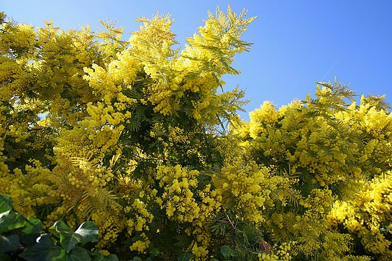 Light Colour Shade: Winter Colours. Mimosa (Lemon yellow)