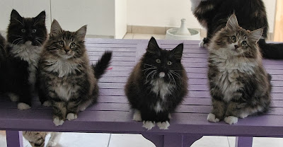 chatons norvegiens lyon marseille