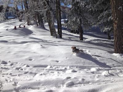 Border Terrier Charly freut sich im Schnee auf der Hannigalp.