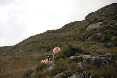 Sheep, Ring of Kerry