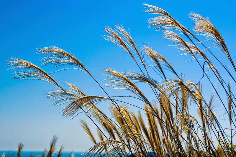 ひたち海浜公園 ススキ 写真1