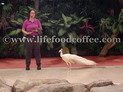 white peacock and animal show in zoo singapore