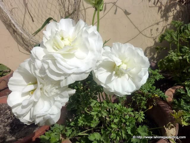 Ranunculus asiaticus buttercup