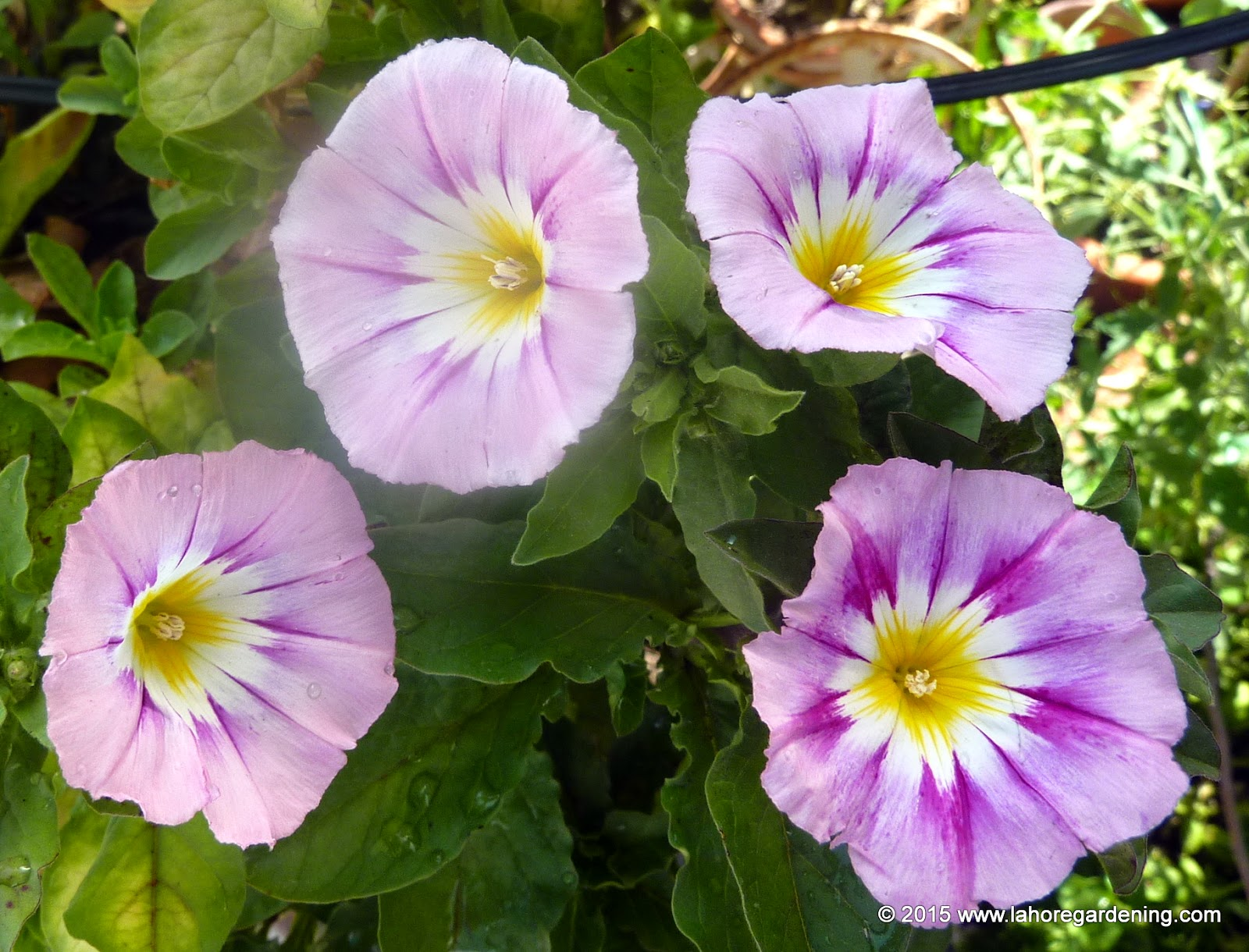 Tricolor morning glory