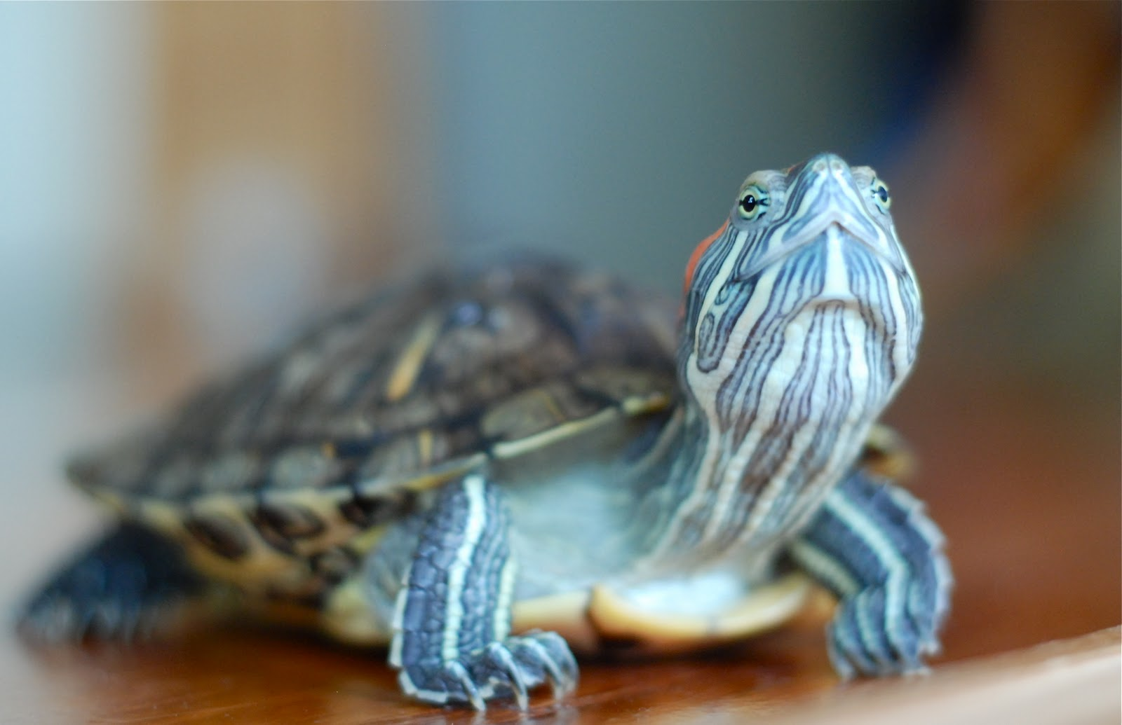 cute pet turtles love my little pet turtle
