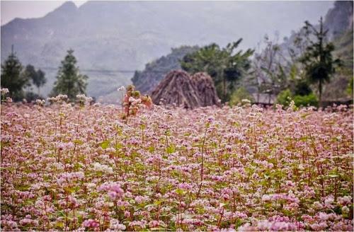 5cb677cd0e9307a3cc590751943248f0 003 Mùa hoa tam giác mạch lại về trên núi đá hà Giang