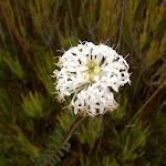 Slender Rice Flower (Pimelea linifolia ssp. linoides) (13726)